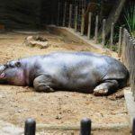 カバの平均的な体重と身長は?巨大な草食動物は?