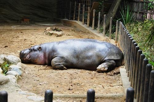カバ 身長 体重 草食動物