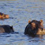 カバは水中で出産するの?河馬(カバ)の由来は?